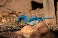 Which Scrub-Jay Are You Seeing?