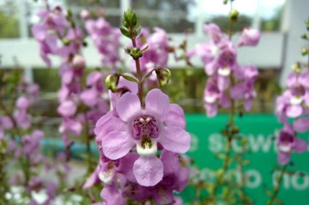 Angelonia summer snapdragon flower gardening angelonia summer snapdragon mightylinksfo