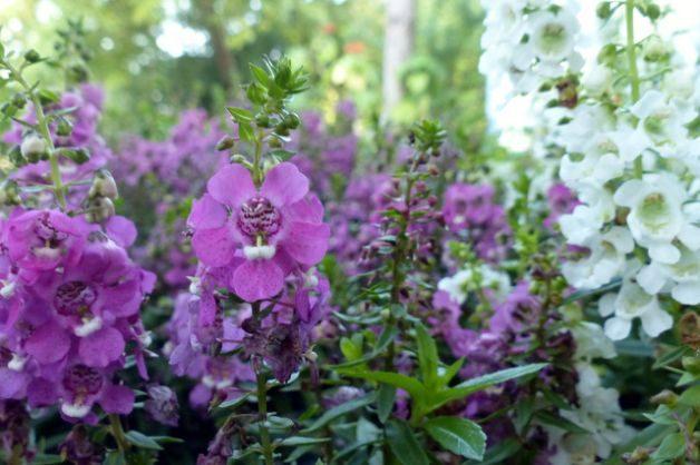 angelonia-summer-snapdragon