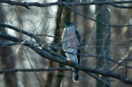 Identifying Cooper's and Sharp-shinned Hawks