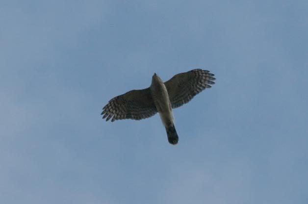 Identifying Cooper's and Sharp-shinned Hawks
