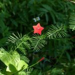 Cypress Vine for Hummingbirds and Butterflies