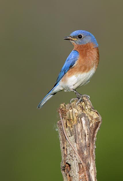 which bluebird am i seeing? - birds and blooms