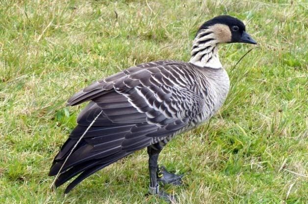 Nene Hawaii State Bird