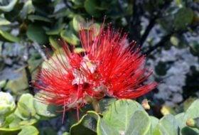 Ohia Lehua, a Legendary Plant of Hawaii