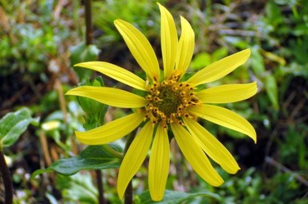 Rosinweeds Starry Rosinweed
