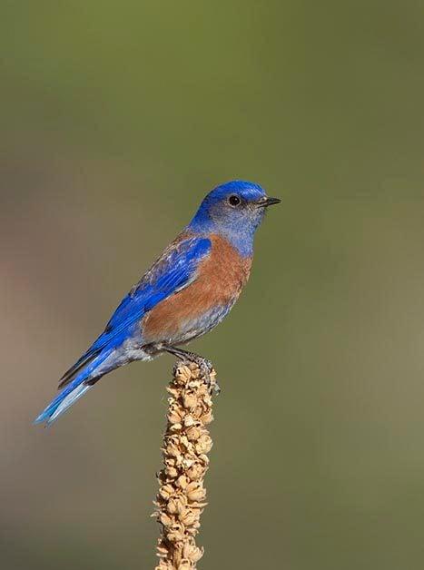 Which Bluebird am I Seeing?