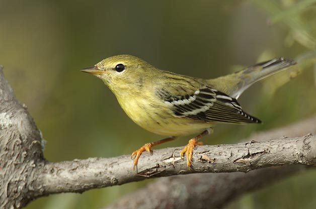 ID Tips for Fall Blackpoll and Bay-breasted Warblers