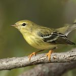 Fall ID Tips: Blackpoll Warbler vs Bay Breasted Warbler