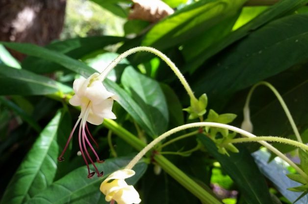Musical Notes Clerodendrum