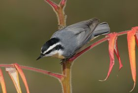An Update on Red-breasted Nuthatch Migration