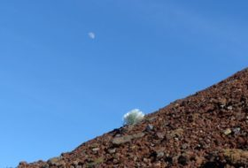 Silversword, Hawaii's Mountaintop Survivor