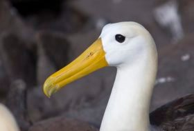 The Waved Albatross of the Galapagos