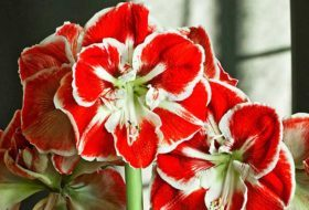 Grow the Biggest and Best Amaryllis