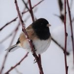 How to Attract More Juncos to Your Backyard