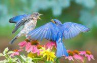 Eastern bluebird by Jim Ridley