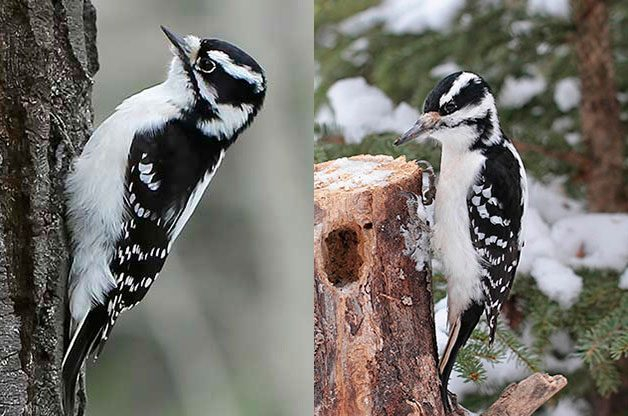 Downy and Hairy Woodpecker