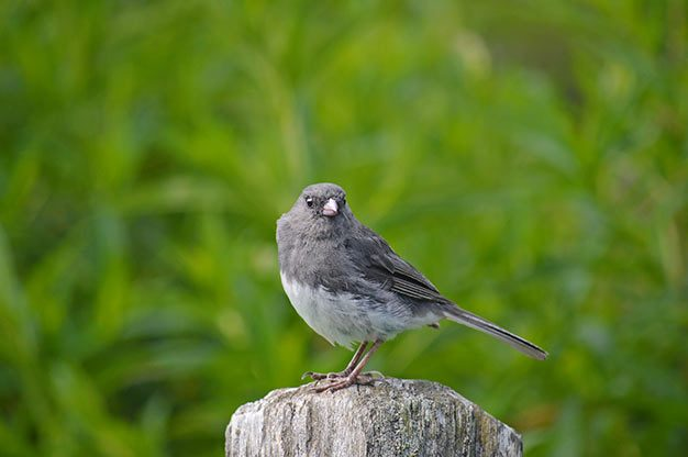 There are more than a dozen types of dark-eyed juncos, like this one.