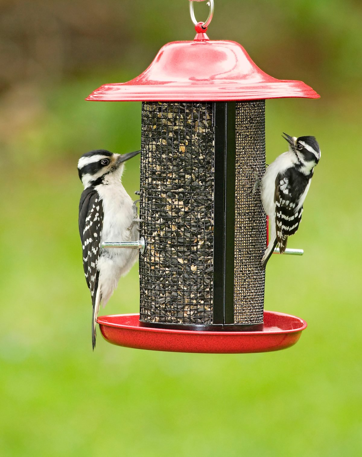 downy vs hairy woodpeckers
