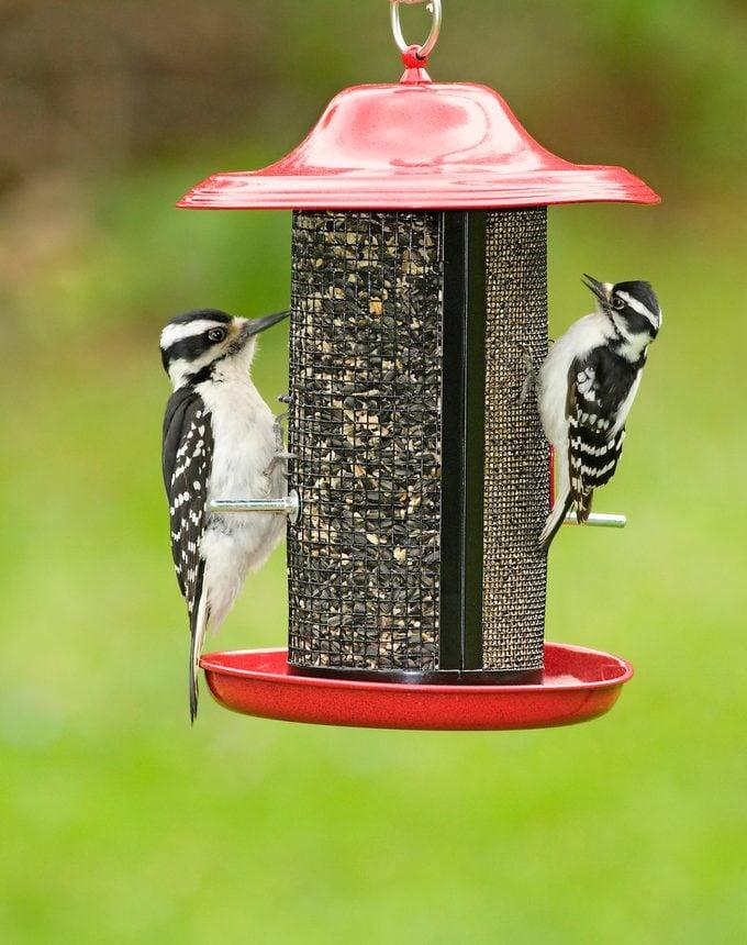 downy vs hairy woodpeckers