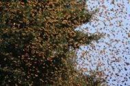Migrating Monarchs Journey North