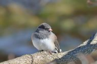 Juncos are part of the sparrow family.