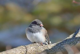 Attract More Juncos to Your Backyard