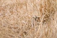 Bird Species Profile: Short-eared Owl
