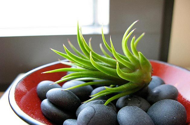 Air plants grow well in the simplest of displays, like in a cluster of rocks or in a bowl.