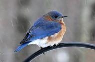 A combination of color, behavior and location helps Merlin users figure out that this is an eastern bluebird.