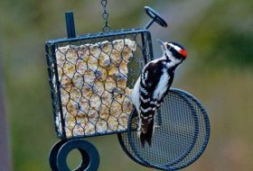 The 4 Best Foods for Woodpeckers