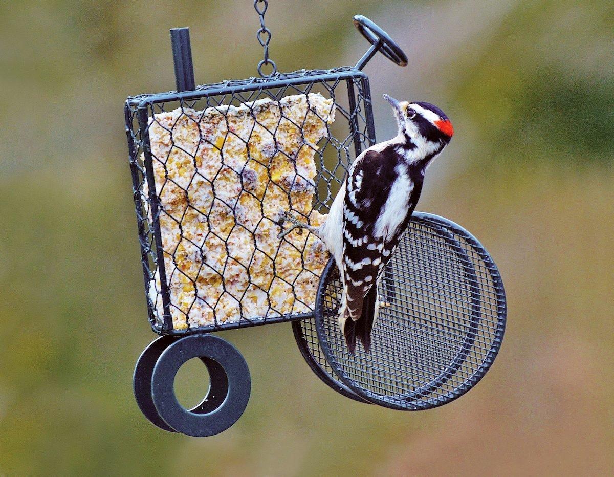 downy woodpecker on suet feeder