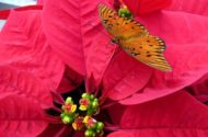 Poinsettia Facts