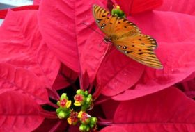 Five Fascinating Poinsettia Facts