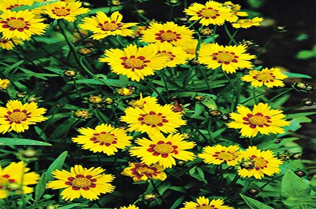 Largeflower tickseed packs a colorful punch.