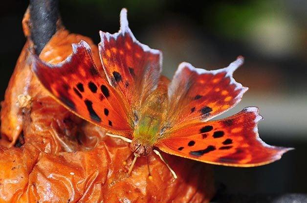 As snow melts, question mark butterflies emerge from winter hibernation.