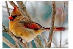Winter Songbird ID Quiz