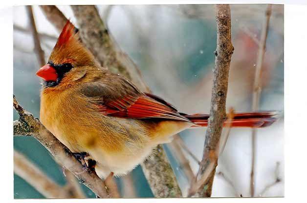 Winter Songbird Id Quiz Birds And Blooms