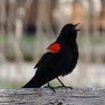 10 Interesting Facts About Red-Winged Blackbirds