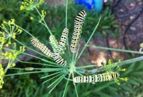 4 Butterfly Host Plants to Grow From Seed