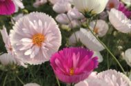 New Flower Seeds 2017 Cupcake Cosmos Park Seed