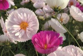 5 New Flower Seeds for 2017