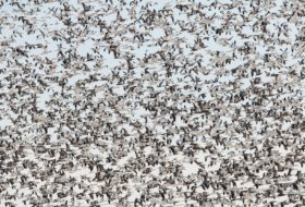 Winter Snow Goose Flocks