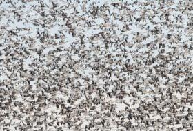 Winter Snow Goose Flocks