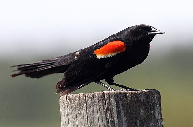 A male red-winged blackbird shows off his distinctive markings.