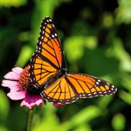 Meet Garden Royalty: The Viceroy Butterfly