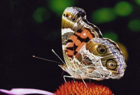 How Many Butterflies Can You ID?