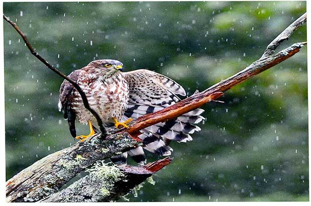 There are many migrating hawk species at the Cape May Fall Festival, like sharp-shinned hawks.