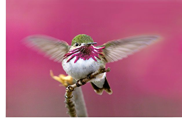 Calliope hummingbirds abound at the Sedona Hummingbird Festival.