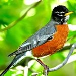 How to Attract Robins to Your Yard or Garden